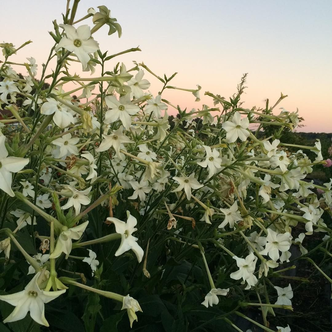 This Is Nicotiana Grandiflora One Of My All Time Favorite Garden