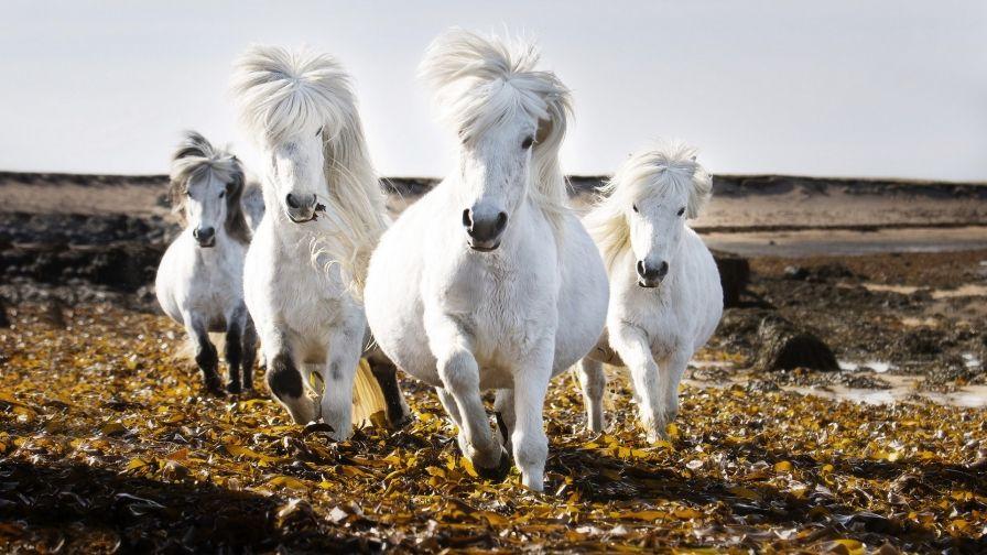 Beautiful White Horses Nature Hd Wallpaper Download Hd Wallpapers