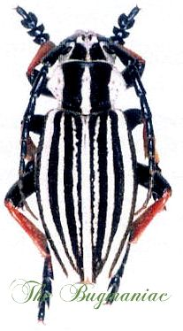 Cerambycidae Vlb Dorcadion Abakumovii Insects For Sale Insects Beetle