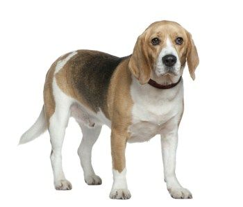 Beagle Weight Normal Size Structure Height Puppy To Adult