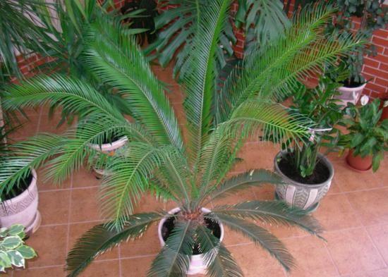 Cykasy alebo tiež cykasové palmy nám na prvý pohľad pripomínajú palmy, v skutočnosti však s nimi nemajú vôbec nič spoločné.  Ich pestovanie nie je zložité a za starostlivosť sa nám odmenia prekrásnou zeleňou.