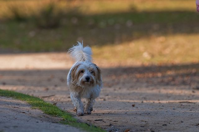 Yorkshire Terrier Mongrel Jack Russell Domestic Dog Walking In