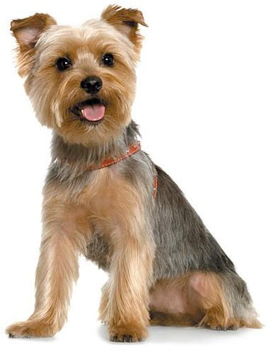 Short Yorkie Haircut With Teddy Bear Head Yorkshire Terrier