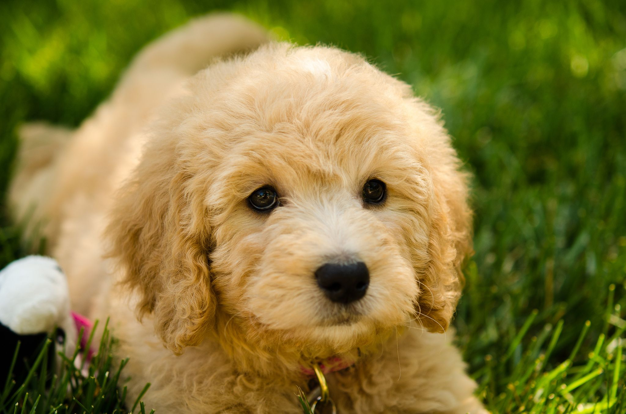 Golden Doodle Dapple Dachshund Golden Retriever Poodle Mix Puppies