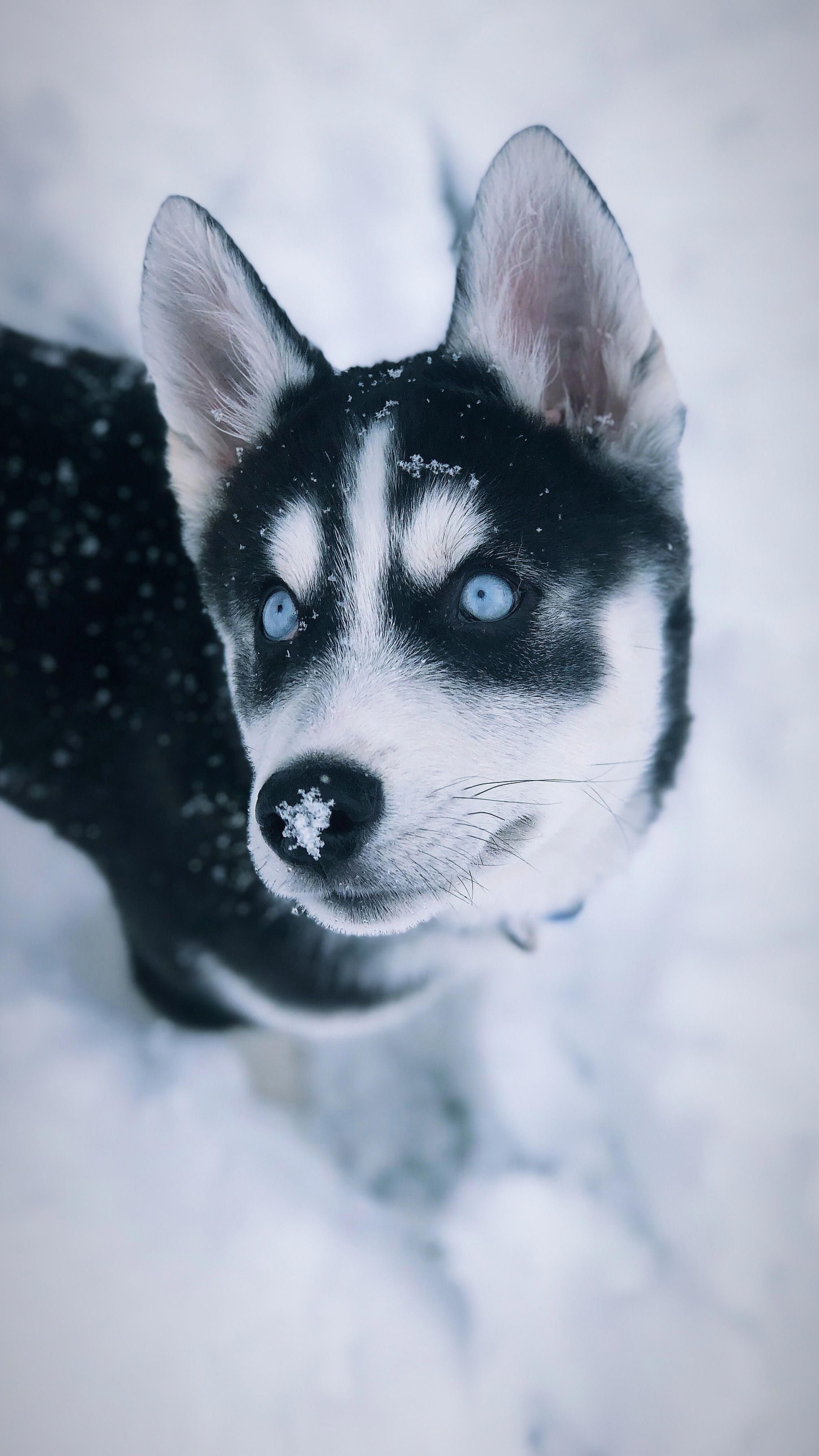 Snow Days Siberian Husky Puppy Garlic And Dogs Pinterest