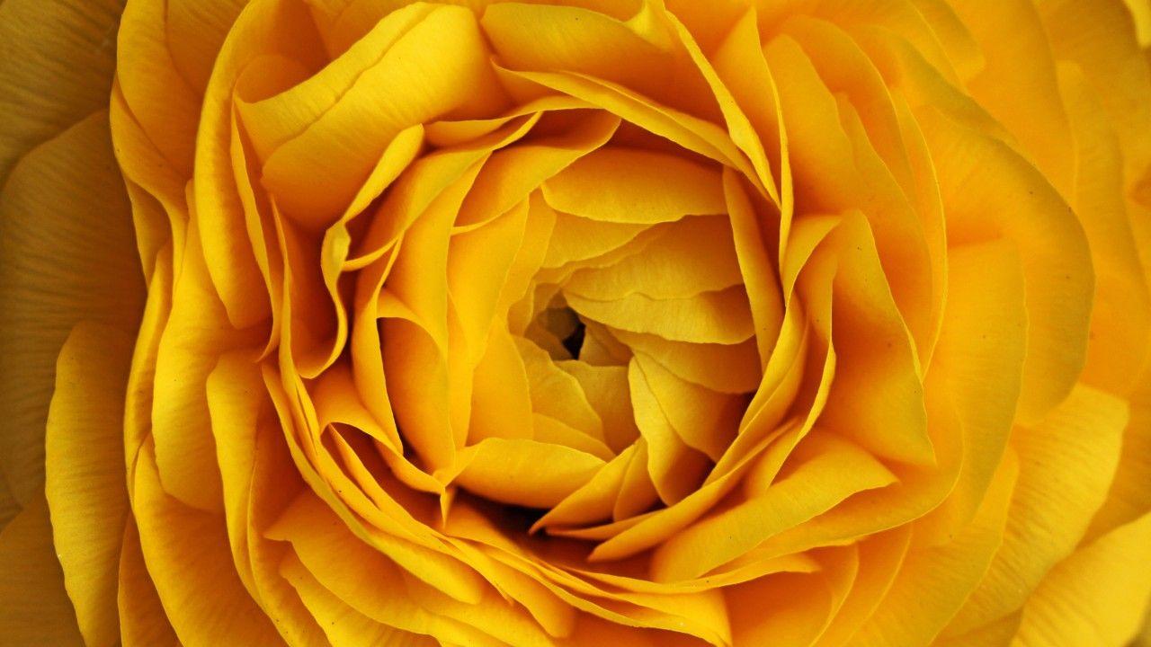 Rose, 4k, 5k wallpaper, flowers, yellow, macro Vintage
