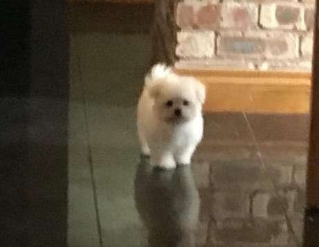 Maltese Male Puppy For Sale In Warrington Cheshire Preloved Puppies Dogs Pet Dogs