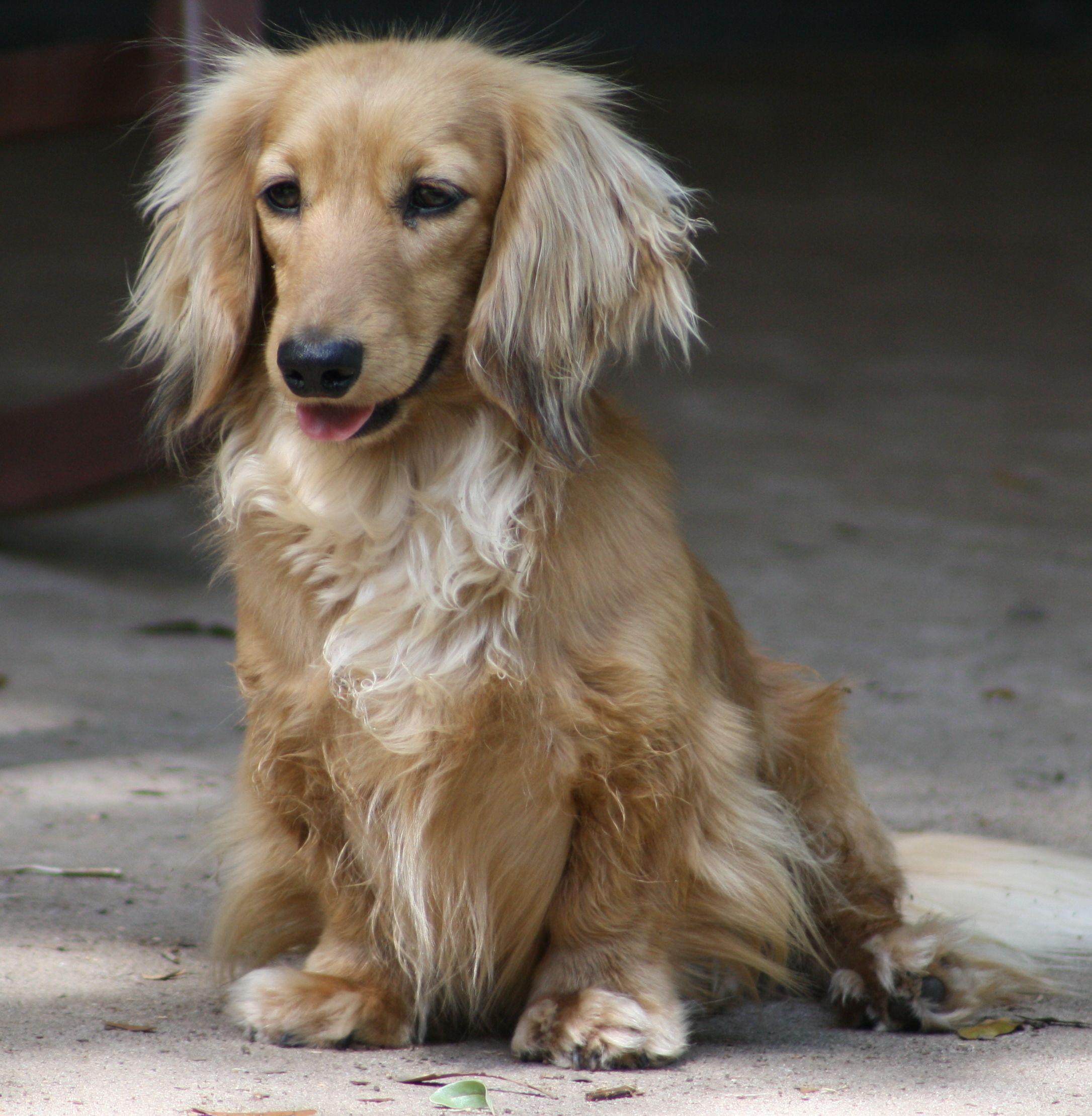 Dachshund Friendly and Curious Dachshund dog, Cream