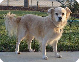 Corona, CA Golden Retriever/Tibetan Spaniel Mix. Meet