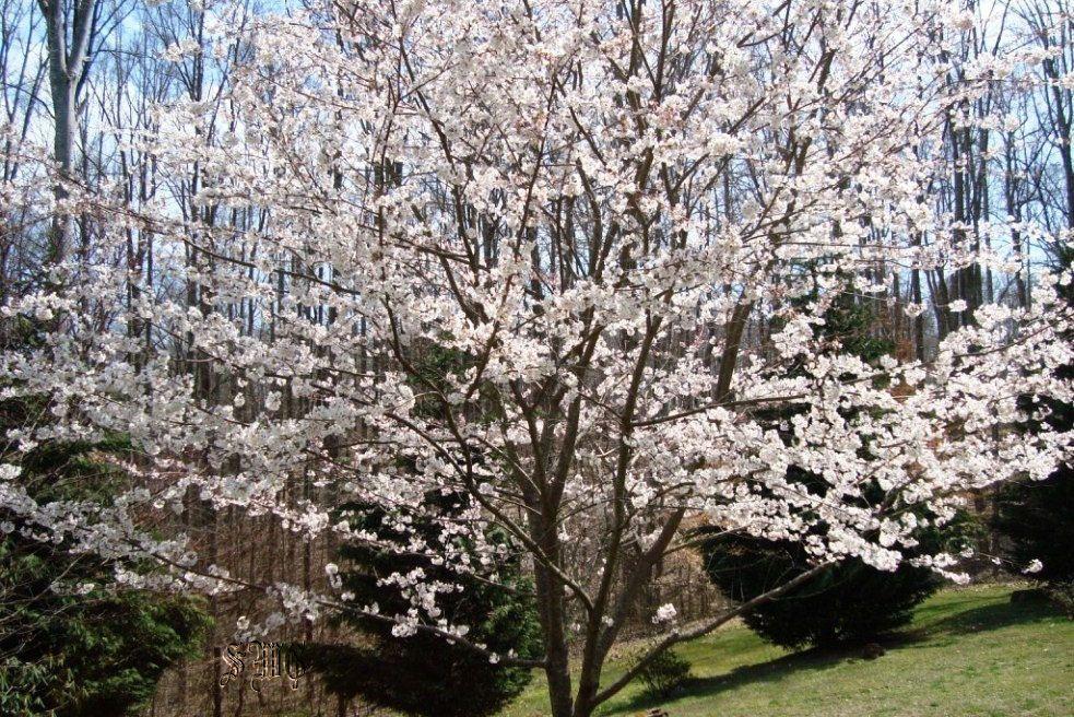 1 Yoshino Flowering Cherry Tree Prunus X Yedoensis 3 To 4 Ft Tall 11 99 Each Flowering Cherry Tree Prunus X Yedoensis Cherry Tree