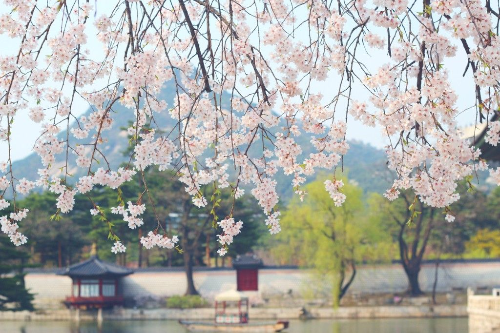 Top 5 Cherry Blossom Festivals In South Korea In 2017 Cherry Blossom Festival Beautiful Gardens Travel Abroad