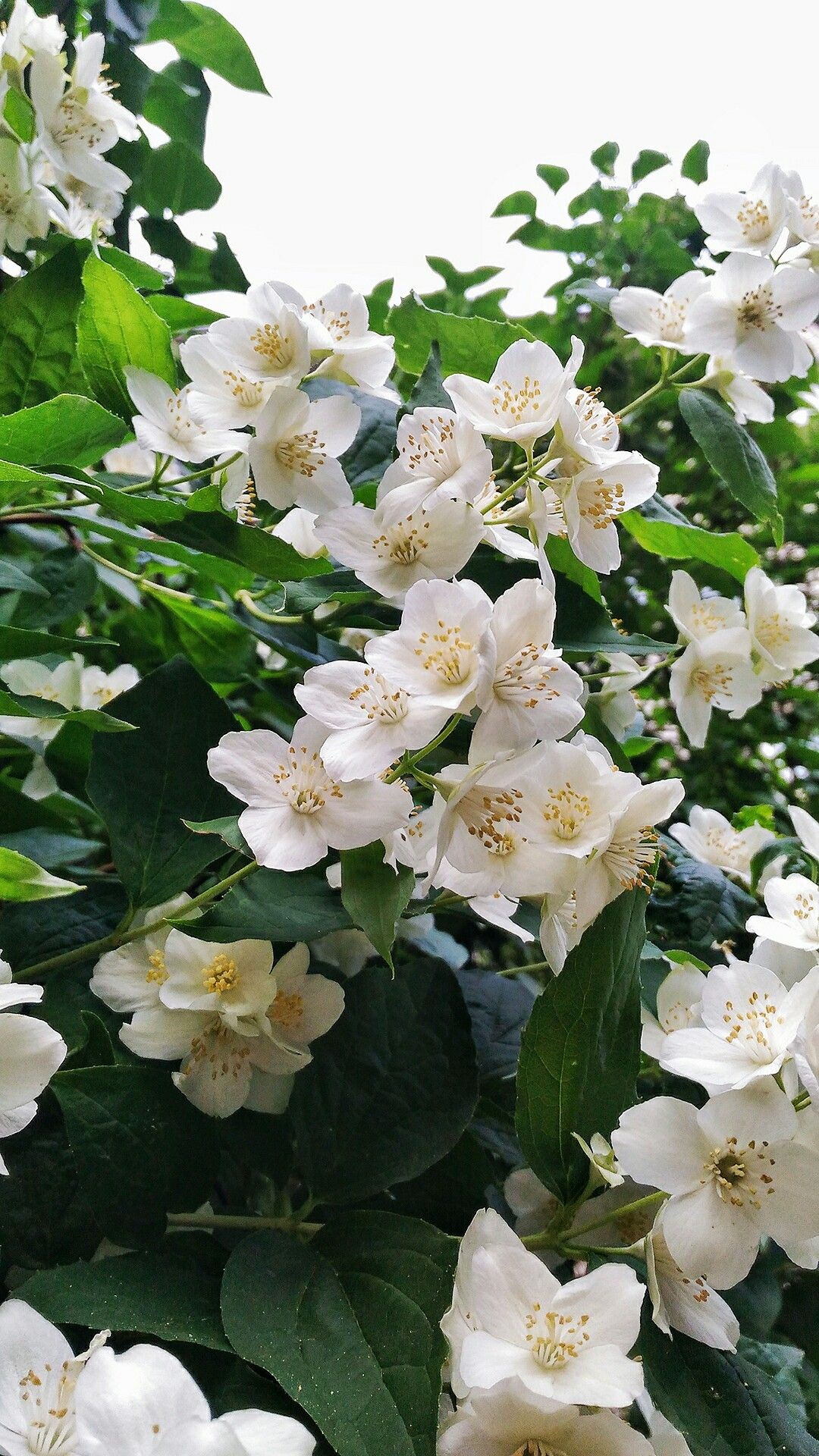 Жасмин Фото Цветы