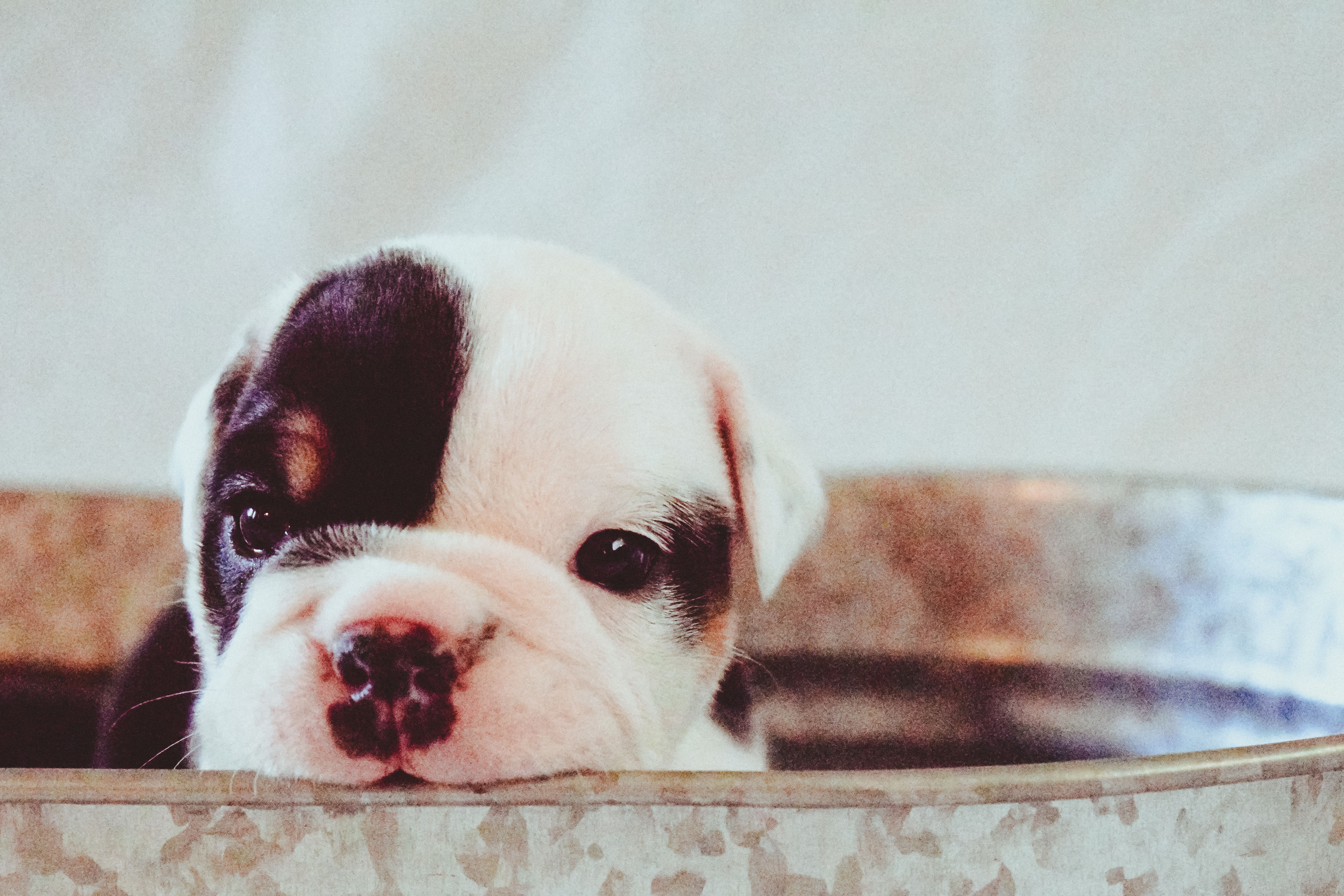 Meet Bullseye Akc English Bulldog Puppy For Sale In Montana