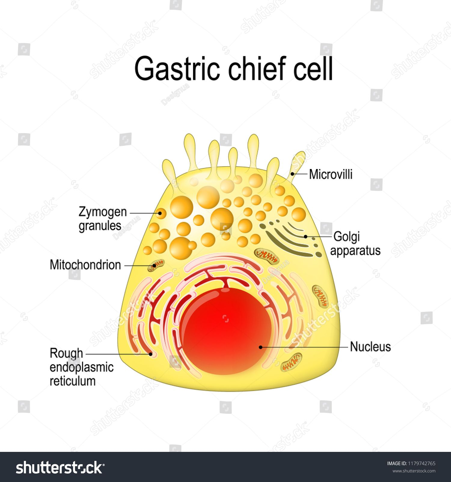 gastric chief (peptic, gastric zymogenic) cell. release the zymogen  (enzyme). structure of a chief cell: golgi apparatus, nucleus… | stock  illustration, cell, chief  pinterest