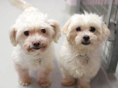 Dog Breeds That Don T Smell Or Stink Mit Bildern Hunderassen Hunde Rassen Hunde