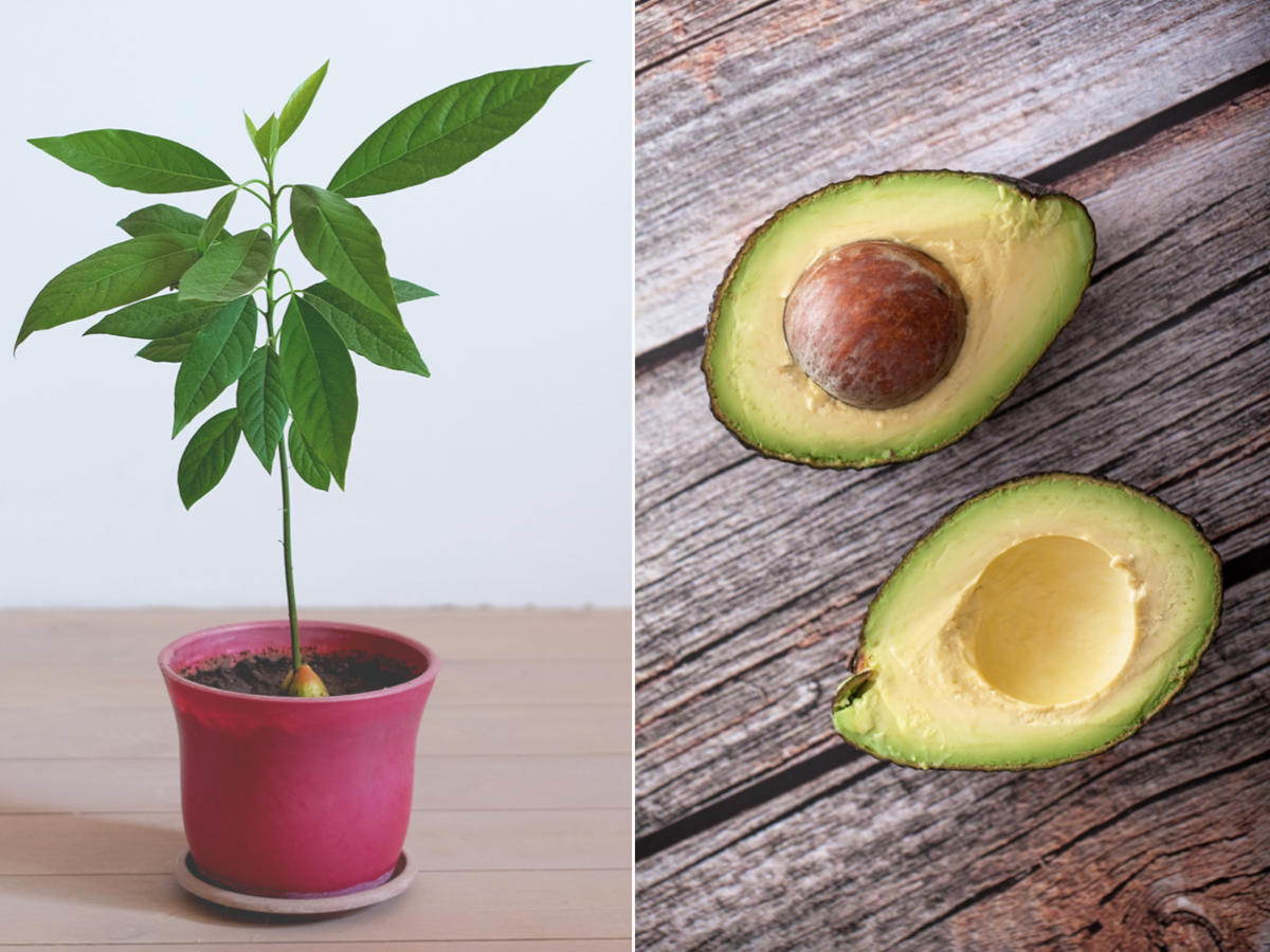How To Grow An Avocado Tree At Home In 2020 Grow Avocado Avocado Tree Growing An Avocado Tree