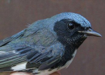 Borer-eating warblers may need nearby forests