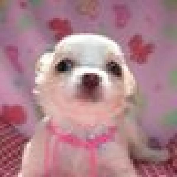 Chihuahua Puppies For Free Chihuahua Puppies For Sale Offer Buy Sell Philippines Free Chihuahua Puppies Cute Puppies For Sale Cute Animals Puppies