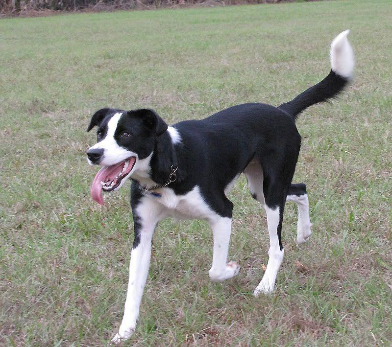 Border Collie Beagle Mix Border collie dog, Collie mix