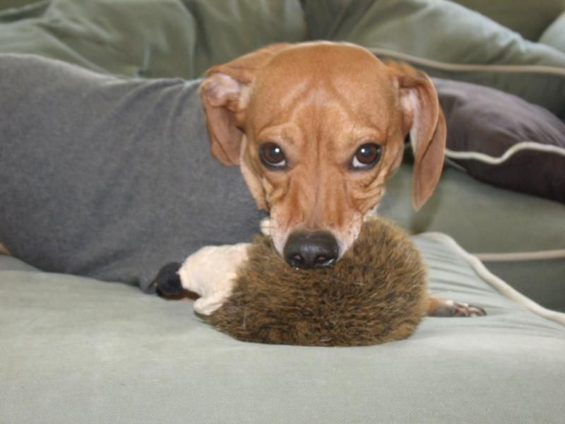 New York Ny Dachshund Meet Pookie A Pet For Adoption Pet