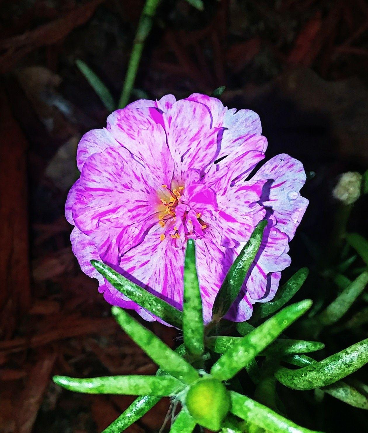Portulaca Purslane Moss Rose My flower, Flowers, Rose