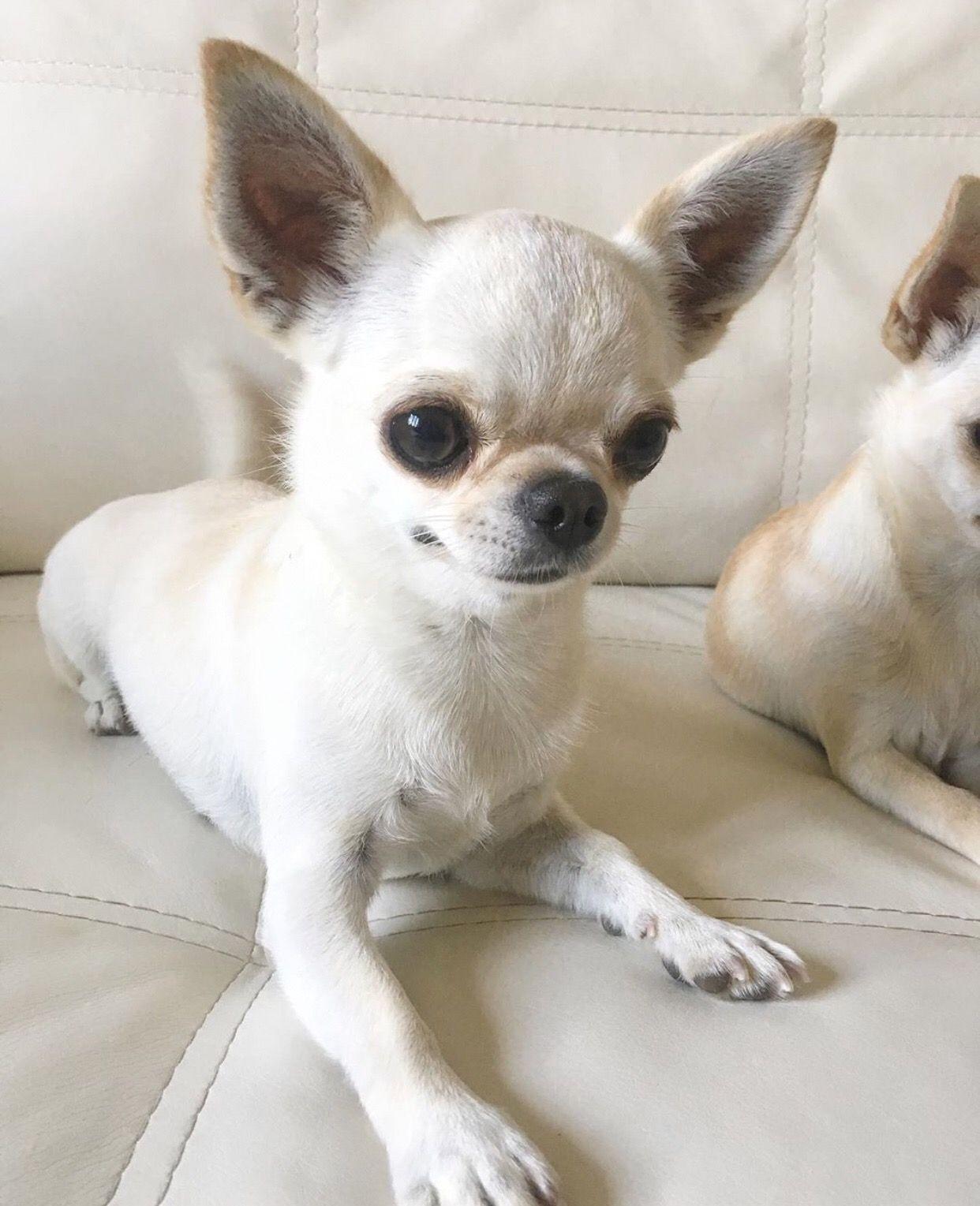 Chihuahua Dog Chiwawa Dog Information Cute Chihuahua