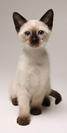 Gorgeous Tonkinese Cat Tonkinese Kittens Cat Breeder