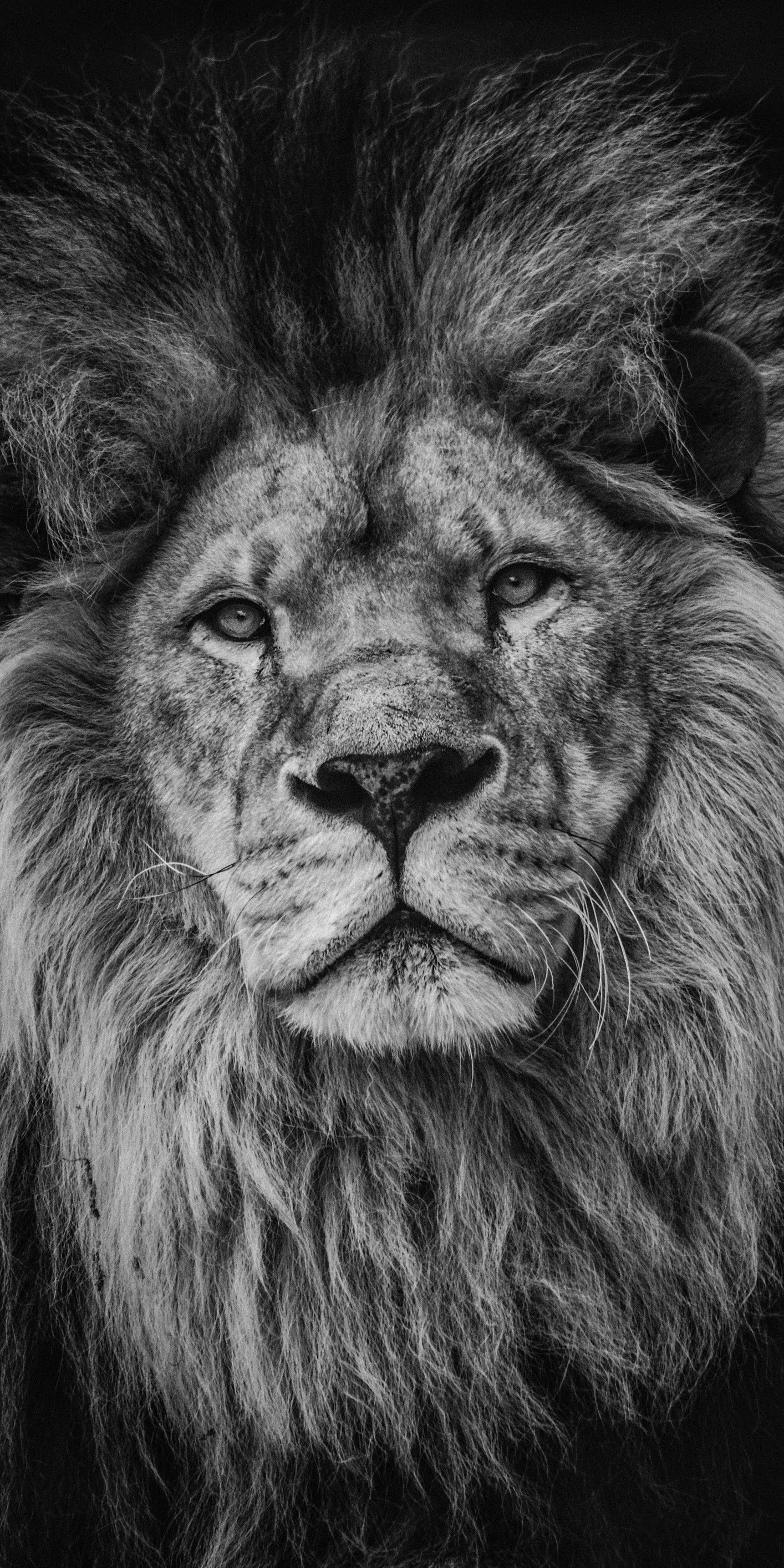 Pin By بروج ارمغان On Black White Lion Images Lion Pictures Lions Photos