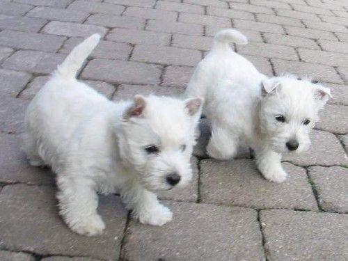 Baby Max Westie Puppies Westie Dogs Westies