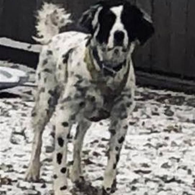 Lost Dog Minneapolis English Springer Spaniel Mix Male Date Lost 01 06 2019 Dog S Name