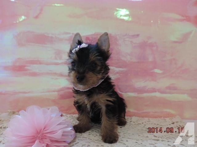 AKC Yorkie Teacup Champion Bloodline Female Puppy Yorkie