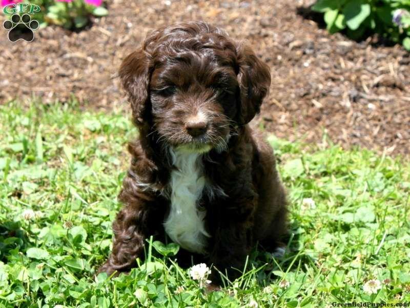 Cockapoo Puppy Cocoa Cockapoo Puppies Cute Puppies Puppies