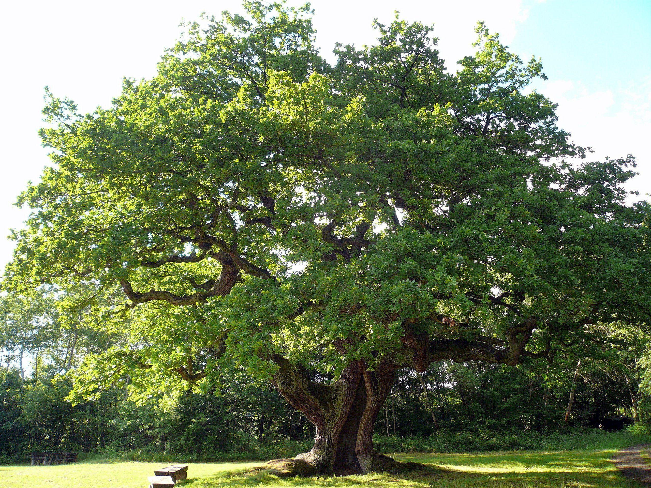 Tausendjahrige Eiche Bei Reith Google Suche Baum Fotografie Eiche Baum Pflanzen