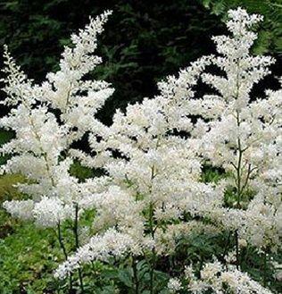 Astilbe White Astilbe Flowers And Fillers Flowers By Category Sierra Flower Finder Astilbe White Gardens Plants