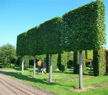 mature pleached limes 40 45cm girth field grown architecture interior exterior. Black Bedroom Furniture Sets. Home Design Ideas