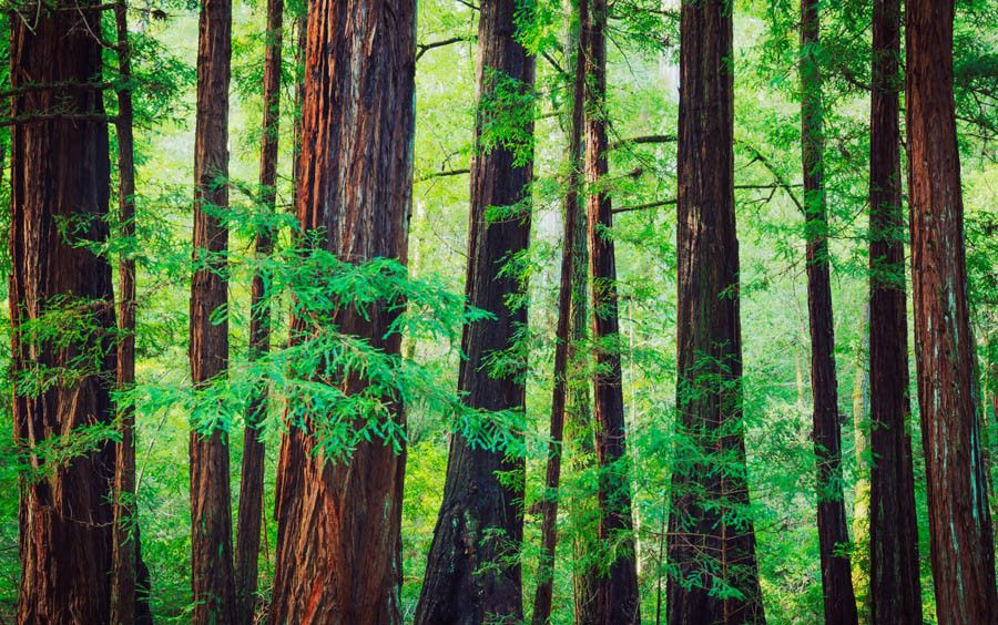 Redwood Trees In The Northwest Rainforest Wallpaper Mural Forest Mural Tree Wallpaper Mural Forest Wall Mural