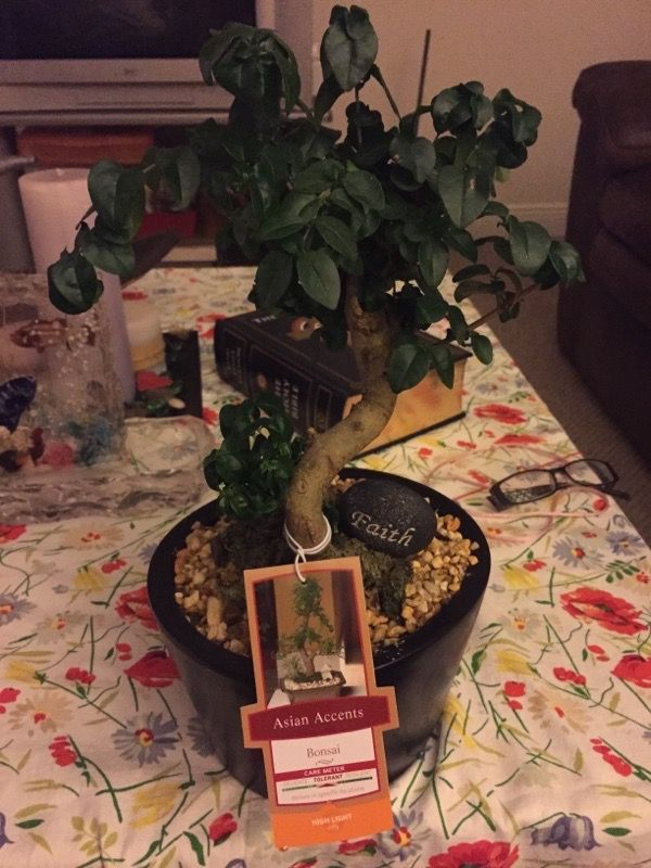 Ginseng Ficus Bonsai Ficus Microcarparetusa The Photo Is A Bit Dark And The Tag Is Hiding Much Of The Base Of The Plant But I Ficus Bonsai Container Plants