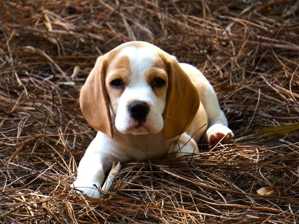 Red And White Beagle Puppy Beagles For Sale Beagle Puppy Beagle