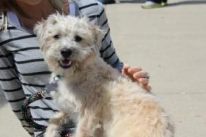 Adopt Betsy On Poodle Mix Cairn Terrier Mix Poodle Mix Dogs