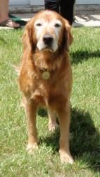 Adopt Carma On Dogs Golden Retriever Golden Retriever Rescue