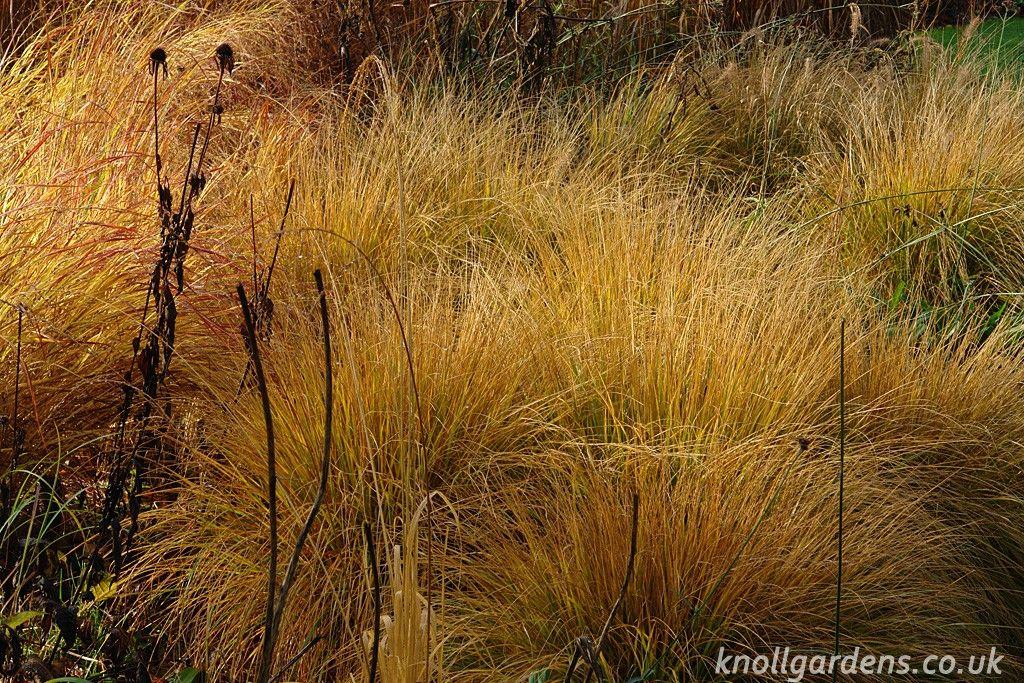 Hameln Ornamental Grass Pennisetum hameln knoll gardens ornamental grasses and flowering pennisetum hameln knoll gardens ornamental grasses and flowering perennials workwithnaturefo