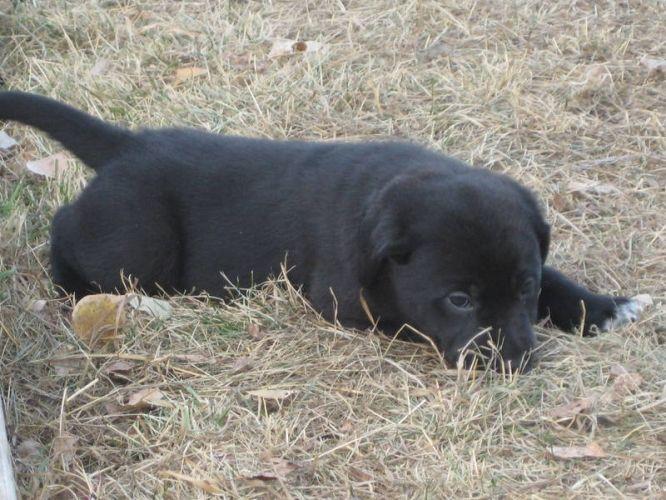 Blue Heeler Lab Cross Black Lab Heeler Cross Puppies For Sale