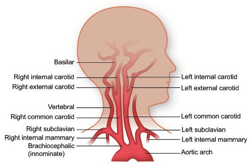 Carotid Artery Bifurcation At What Level Google Search Vascular