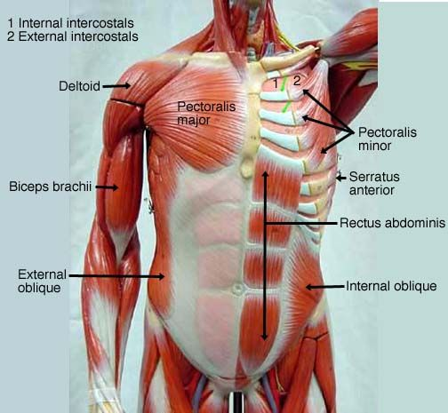 Muscular System Labeled Anesthesia Medical Professions