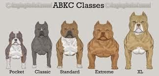 The Different Classes Of An American Bully American Pitbull