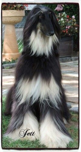 Black And Tan With Images Afghan Hound Pure Breed Dogs Hairy Dog