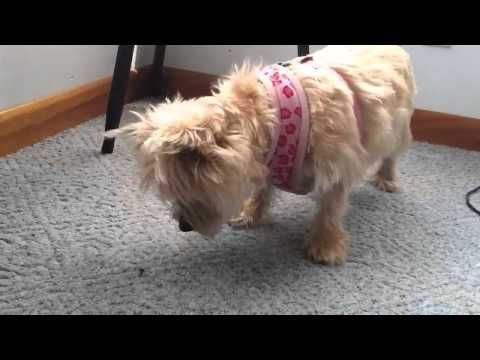 Cairn Terrier Talking To A Fly Youtube Cairn Terrier Cairn