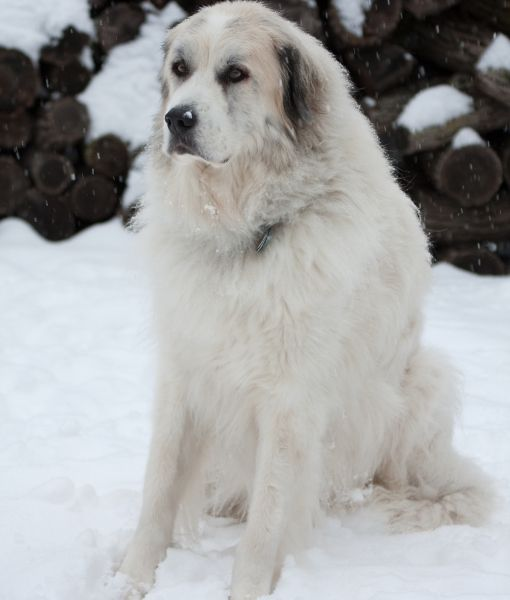 10 Large Dog Breeds That Are Gentle Great Pyrenees Dog Large