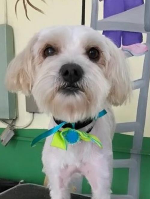 Meet+Oliver+Carr,+a+Petfinder+adoptable+Poodle+Dog+