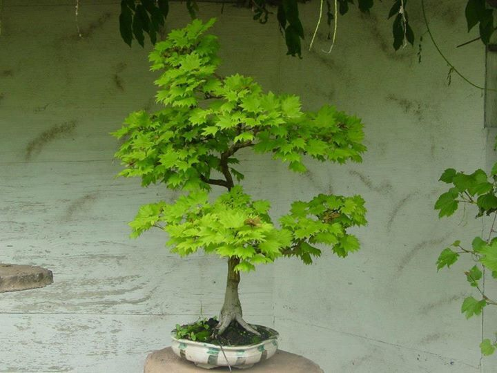 acer shirasawanum 39 aureum 39 bonsai trees bonsai maple bonsai bonsai plants. Black Bedroom Furniture Sets. Home Design Ideas